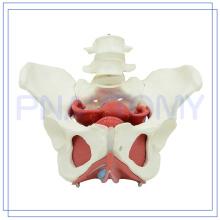 PNT-0589-3 Modèle de la cavité pelvienne féminine