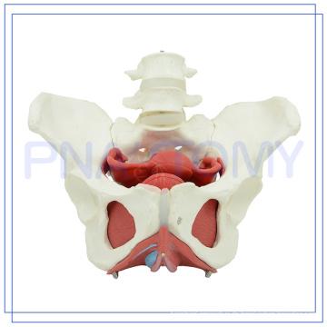 PNT-0589-3 Weibliches Beckenhöhlenmodell