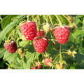 IQF Freezing Organic Raspberry Hr-16090908