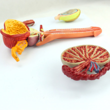 ANATOMY33 (12471) Modèle anatomique de système reproducteur masculin humain de science médicale