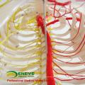 SKELETON02 (12362) Medical Science humaine pleine taille 170 / 180cm modèles anatomiques squelette neurovasculaire