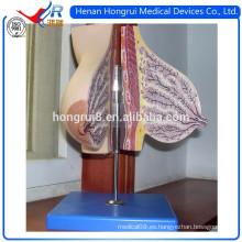 ISO Glandula mamaria del modelo mamario en lactancia