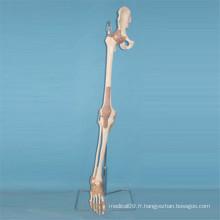 Modèle d'anatomie osseuse squelettique du corps humain (R020906)