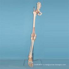Модель анатомии костной ткани человека (R020906)