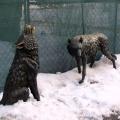 De haute qualité comment faire une statue de loup