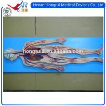 Sistema circulatorio de sangre ISO Deluxe
