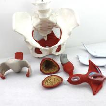 PELVIS07 (12344) Medizinische Anatomie Weibliche Beckenmuskeln und Organe Modelle