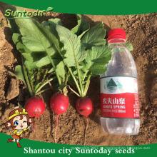 Suntoday planta de agua agricola vegetal rendimiento híbrido F1 cultivo orgánico de chery rábano f1 semillas híbridas para agricultura (51001)