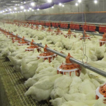 Automatic Broiler Poultry Equipment From Qingdao, China