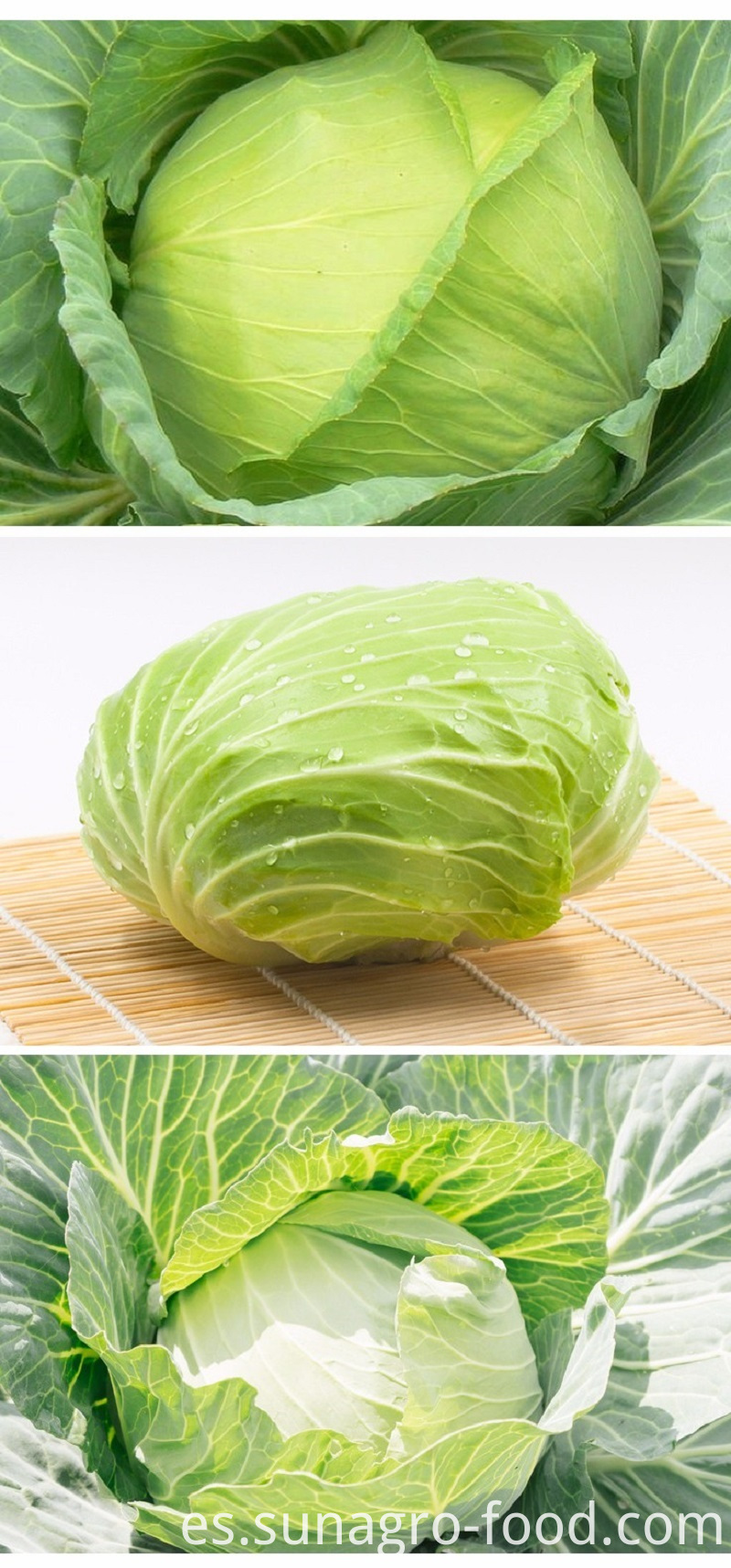 Organic Healthy Vegetable Of Cabbage