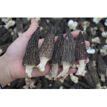 2018 Healthy Food Dried Morel Mushroom Morchella