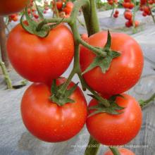 HT05 Dejar maturité précoce, graines de tomates hybrides f1 déterminées rouges