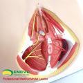 ANATOMY24 (12462) Médecine clinique Anatomie et biologie grandeur nature Éducation Modèle féminin périnée