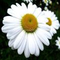 Poudre de chrysanthème cinérariifolium