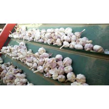 jin xiang fresh garlic