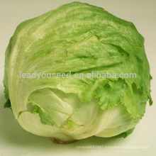 LT05 mary extremely early maturity iceberg lettuce seeds