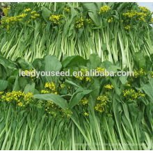 MCS08 LV 100 days light green chinese choy sum seeds company