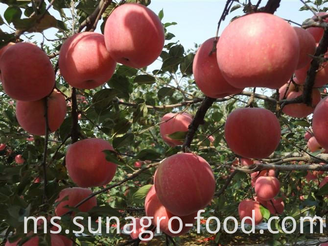 New Fuji apples for export