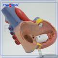 PNT-0405 medical simulation model type and plastic human anatomy model / Heart Model