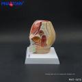 PNT-1570 mini modelo de pelvis masculina, modelo de cavidad pélvica de lujo