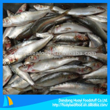 Processus de sardine congelé