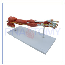 PNT-0331 hochwertiges Oberarmmodell zum Verkauf