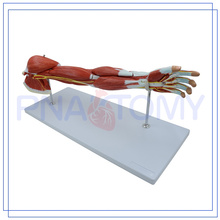 PNT-0331 Upper Extremity Muscle Model 7 Parts for medical use