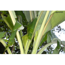 Bananenblatt-Extrakt / Bananenschalenextrakt / Banaba-Extraktpulver