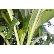 Extrato da folha da banana / extrato da casca da banana / extrato de Banaba pó