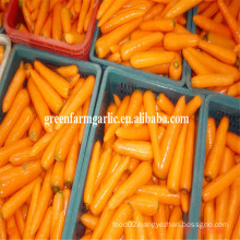 fresh australian carrots