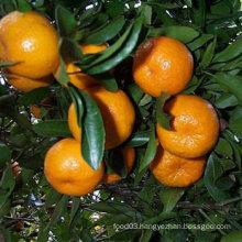 Professinal Exporter for Fresh Baby Mandarin