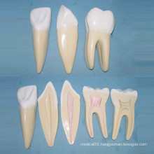 Human Normal Size Teeth Medical Anatomic Model (R080118)