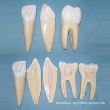 Modelo normal de anatomia dos dentes do corpo normal humano (R080118)