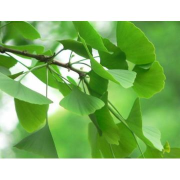 Top for Botanical Extracts Ginkgo Biloba Extract supply to Anguilla Manufacturer