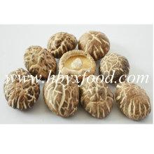 4-5cm secado Comestible chá flor Shiitake cogumelo