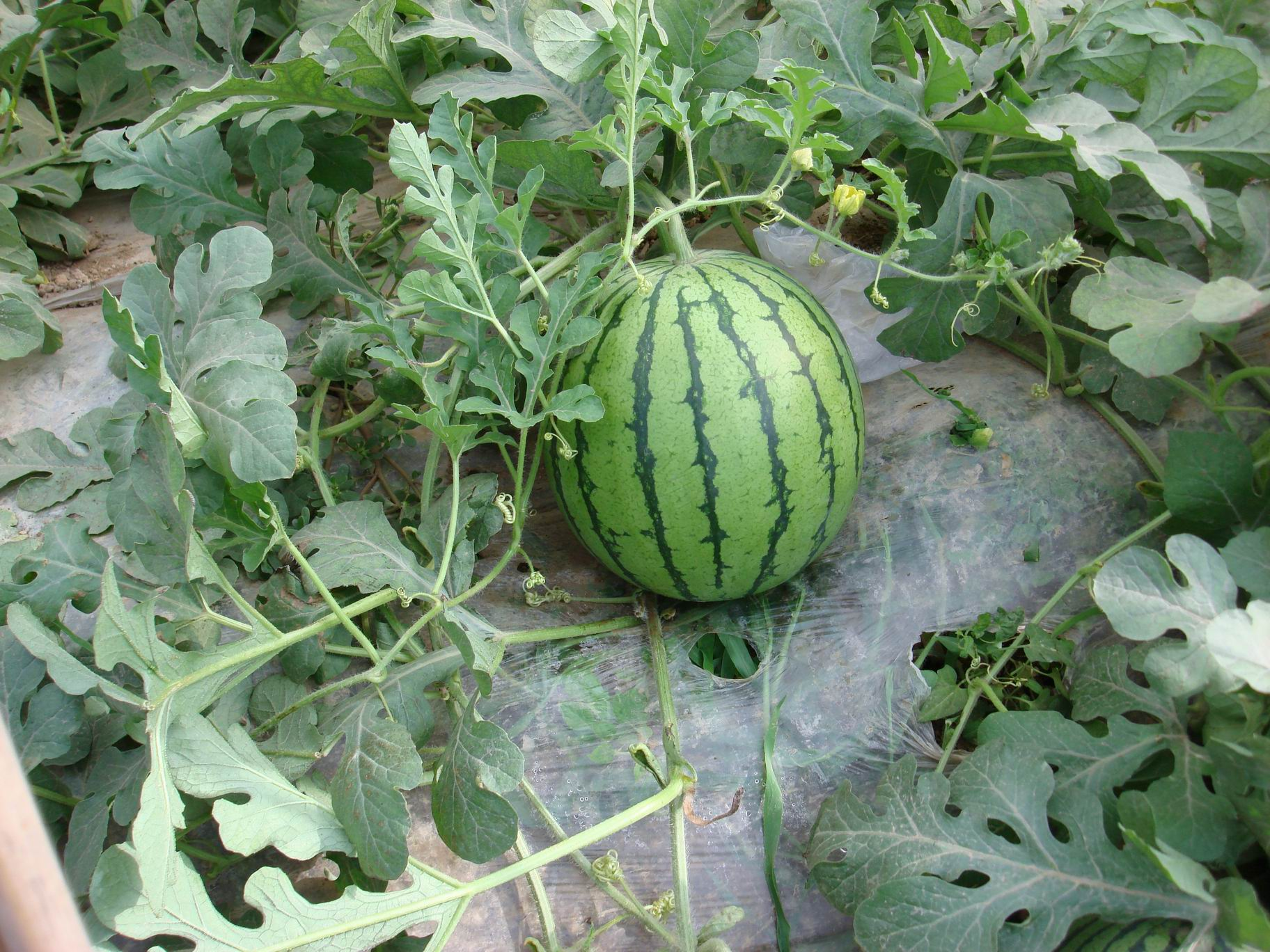 Best Watermelon Seeds for Sales
