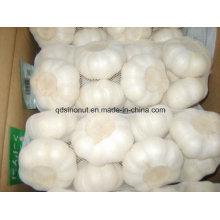 Frische Ernte Chinesische reine weiße Knoblauch