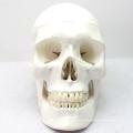 SKULL03 (12329) Medical Skull Anatomy Model for Patient Communication