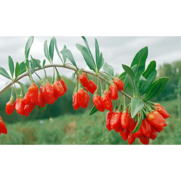 wolfberry rosso selvatico cinese