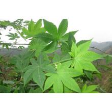 Saf Stevia Tatlandırıcı Rebaudioside A% 40 ~ 98 Reba