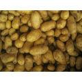 Chine pommes de terre fraîches 2014