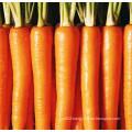 2016 Crop Fresh Carrots Hot Sale