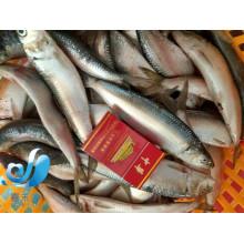 Neue Ankunfts-See gefrorene vollständige runde Sardine-Fische