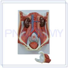 PNT-0569 modèle de système urinaire bi-sexe de haute qualité