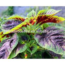 MAM011 Xianjin sementes de amaranto vermelho resistente a baixas temperaturas, sementes de hortaliças chinesas