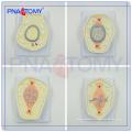 PNT-0827 high quality biological animal cell model