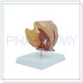 PNT-0582 life size female genitals model