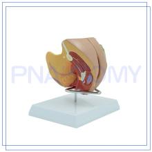 PNT-0582 Le plus populaire Medical le système reproducteur féminin photo