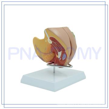 PNT-0582 modelo de genitales femeninos del tamaño de la vida