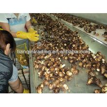 2013 new crop of fresh taro price